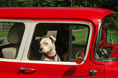 Dogs Driver and Passenger. Two Pitbulls driving a red 1955 Chevy pickup truck Royalty Free Stock Photography