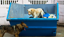 Dogs in dustbin. Homeless dogs in dust- container royalty free stock photography
