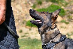 Dogs 134 Royalty Free Stock Image