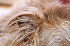 Dogs ear closeup Royalty Free Stock Photos