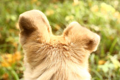 Dogs ears alert to hear autumn nature sounds Royalty Free Stock Images