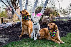 Dogs with Easter outfits Royalty Free Stock Photography