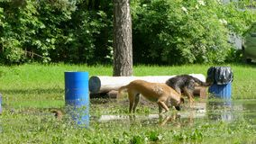 Dogs are eating grass in standing in a large puddle. Two dogs eat grass in standing in a large puddle near garbage cans stock video