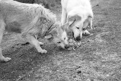 Dogs eating together Royalty Free Stock Images