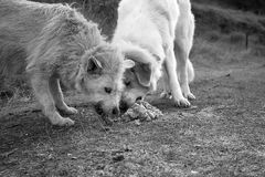 Dogs eating together Stock Image