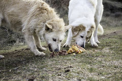 Dogs eating together Royalty Free Stock Photography