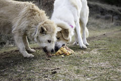 Dogs eating together Stock Photo