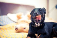 Dogs. Are enjoying bedroom early in the morning stock photo