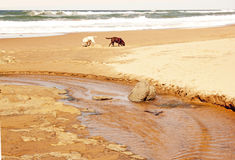 Dogs Exploring Beach Stock Images