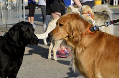 Dogs eye each other before a race Stock Image