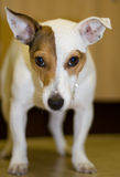 Dogs eye view. A dog looking at the camera Royalty Free Stock Photo