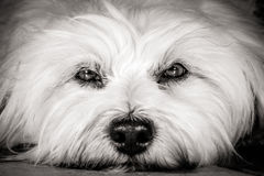 Dogs eyes Royalty Free Stock Photos