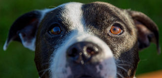 Dogs face Royalty Free Stock Photo