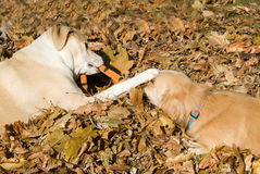 Dogs in Fall leaves Stock Photography