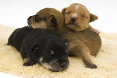Dogs family. Three small puppies to sleep comfortably Royalty Free Stock Photography