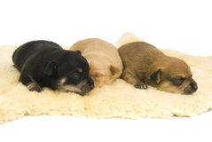 Dogs family. Three small puppies to sleep comfortably Stock Photo