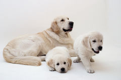 Dogs family. This father is so proud, these pups are his two daughters royalty free stock photo