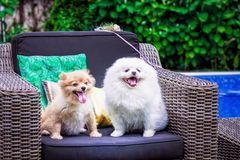 Dogs: Family Spitz, Two dogs parents centred. Dogs: Family Spitz, puppies, dogs-parents royalty free stock photography