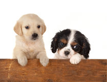 Dogs at a fence. 6 weeks old puppy dogs waiting at a fence Stock Images
