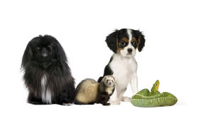 Dogs, ferret, and green snake in front background Royalty Free Stock Photography