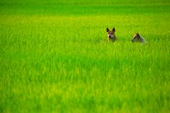 Dogs in Field Stock Photography