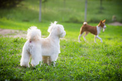 Dogs in field. Little dogs playing in green yard stock image