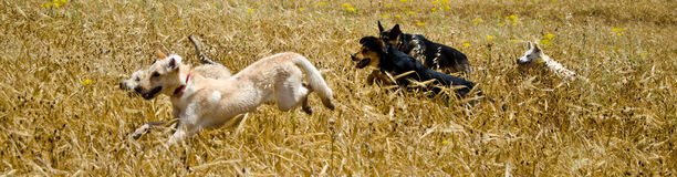 Dogs in the field. Dogs are runing in a wheat field Stock Photos