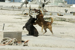 Dogs fight Royalty Free Stock Image