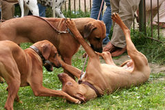 Dogs fight. At the exhibition Stock Photos