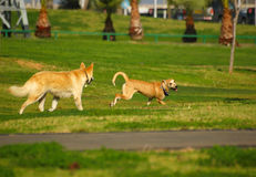 Dogs fight. Dogs in the park Royalty Free Stock Photography