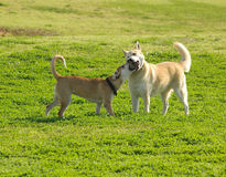 Dogs fight. Dogs in the park Stock Image