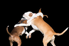 Dogs fight isolated on black. Stock Photos