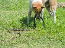 Dogs fight with snakes on the lawn. royalty free stock image