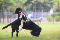 Dogs fighting Royalty Free Stock Images