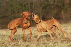 Dogs fighting. Two young dogs playing and fighting Stock Images
