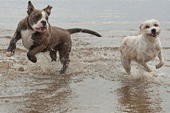 Dogs fighting on the beach. A beautiful blue brindle Olde English Bulldog and cross-breed hound dogs playing and fighting together on the beach stock images