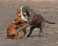 Dogs fighting on the beach Stock Images