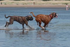 Dogs fighting on the beach Stock Image