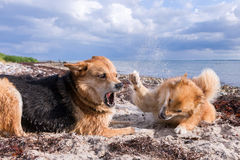 Dogs fighting on the beach. Small dog guarding the toy and giving a last warning to other dog to back off Stock Photo