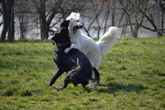 Dogs fighting Stock Photo