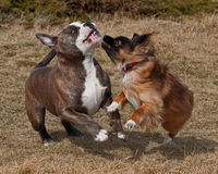 Dogs fighting on the field. A beautiful blue brindle Olde English Bulldog and cross-breed hound dogs playing and fighting together on the beach stock photography