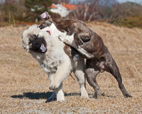 Dogs fighting on the field Stock Image