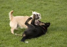 Dogs - Fighting for Fun Royalty Free Stock Photos