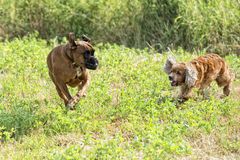 Dogs while fighting on the grass Royalty Free Stock Images
