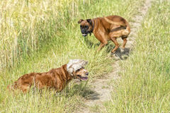 Dogs while fighting on the grass Stock Photo
