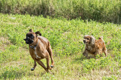 Dogs while fighting on the grass Royalty Free Stock Photos