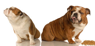 Dogs fighting over food. Two english bulldogs arguing over dog food Stock Photo