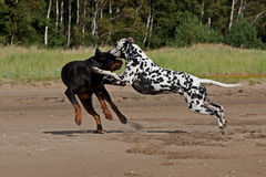 Dogs fighting on the sand Stock Photos