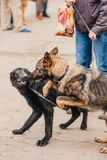 Dogs fighting. Sheep-dog attack. Two Dogs fighting. Sheep-dog attack on exhibition royalty free stock photos