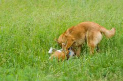 Dogs fighting in spring grass Royalty Free Stock Photography